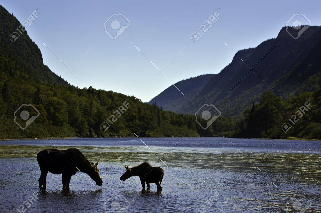 Beautiful silhouette female moose with is calf. Hills and river background from National park Jacques Cartier Quebec Canada. Stock Photo - 8130814
