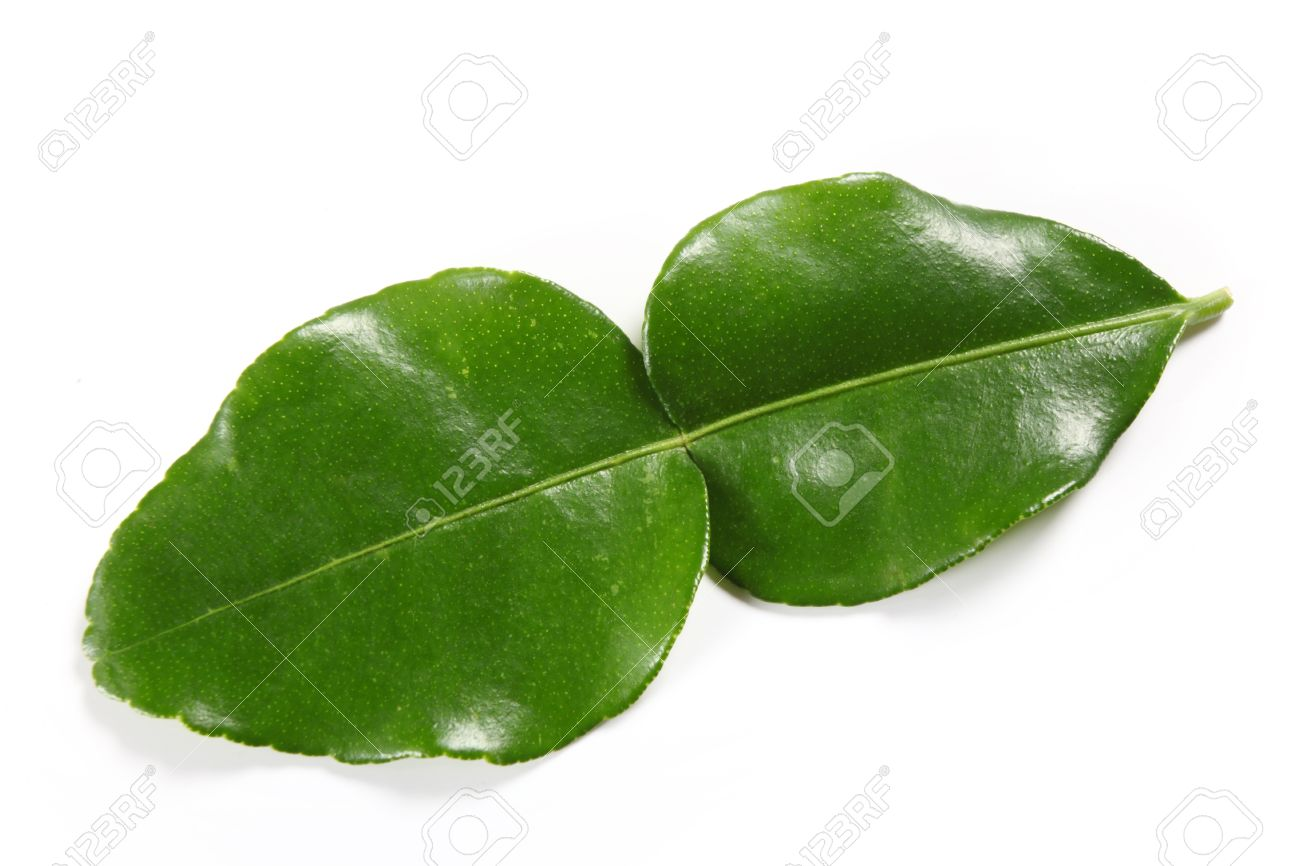 stock photo the distinctive double leaf of the kaffir lime tree citrus hystix which is an important part of thai and some other asian cuisines - Kaffir Lime Tree