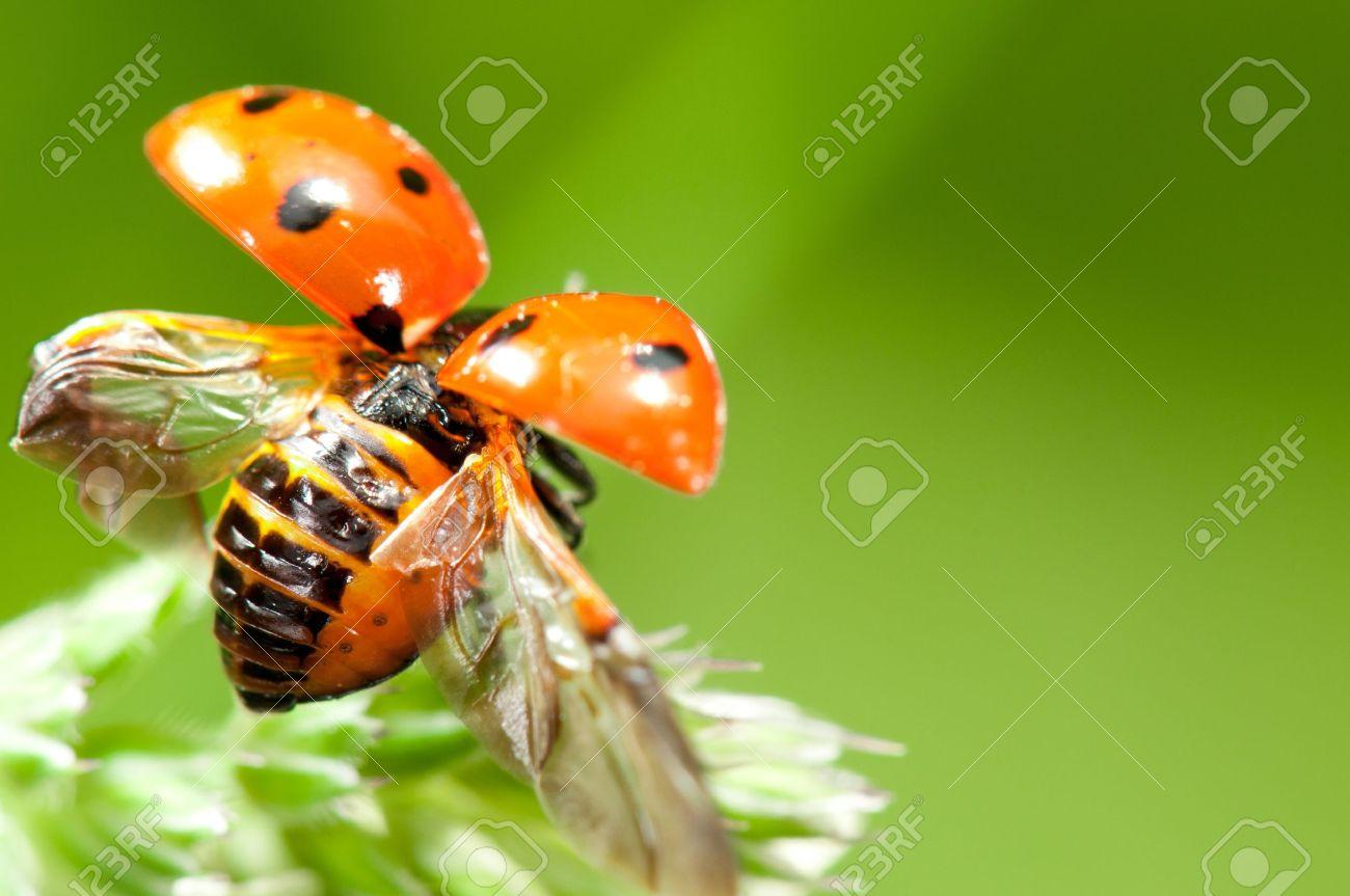 Red little ladybird flying away from fresh green grass - 9188061