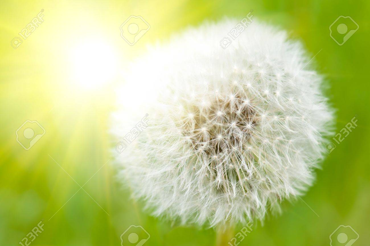 Closeup on dandelion highlighted by sun Stock Photo - 9188026