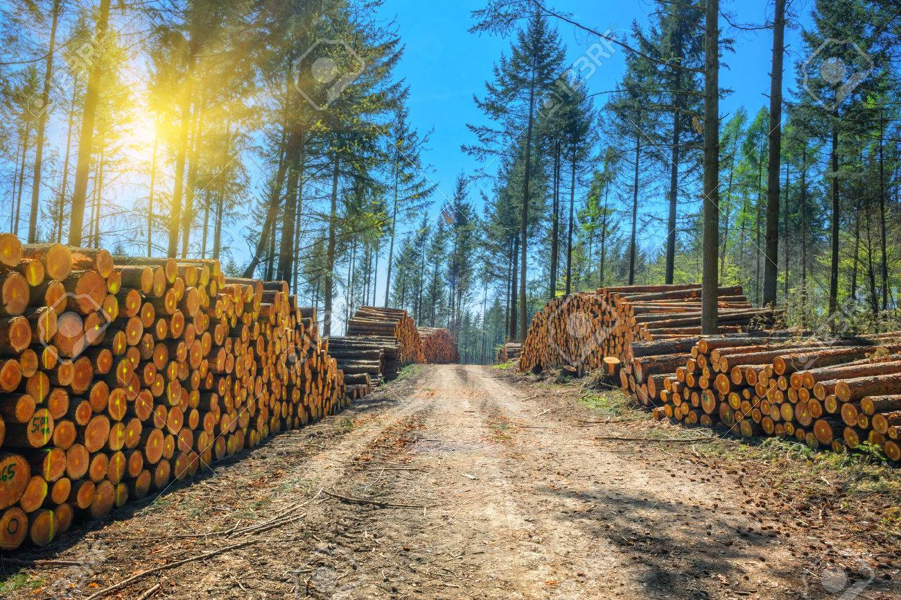 Log stacks along the forest road at sunny day - 24220991