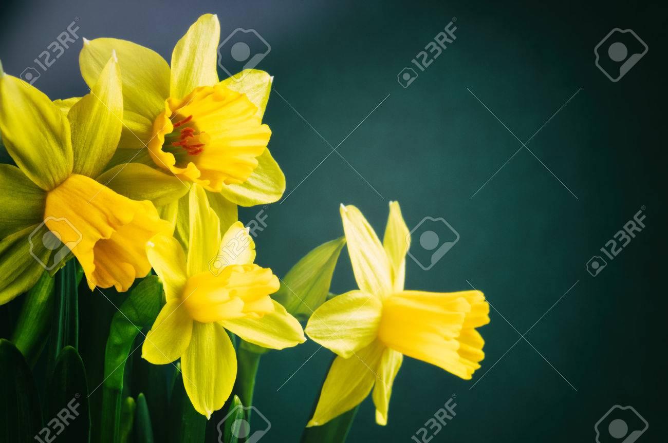 Spring flowers yellow daffodils on dark green background stock spring flowers yellow daffodils on dark green background stock photo 26632586 mightylinksfo