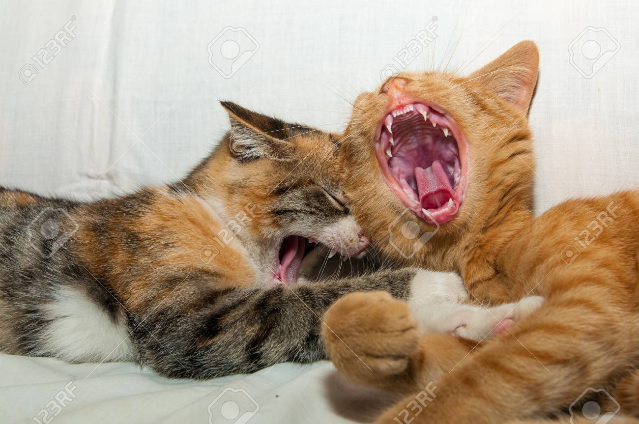 Two colorful young kittens laughing