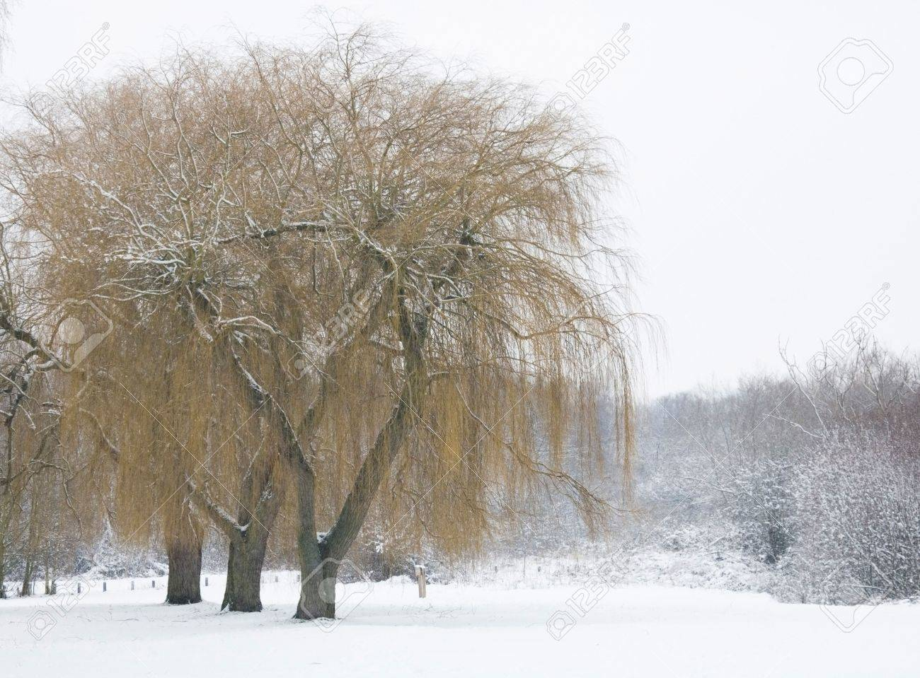 Winter scene with willow trees covered in snow Stock Photo - 4881702