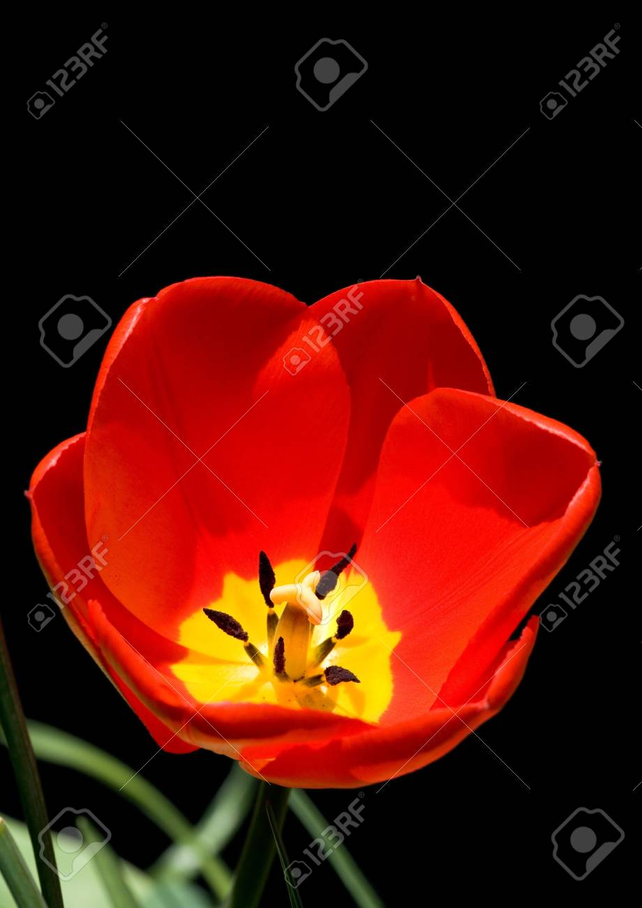 Tulip isolated on a black background Stock Photo - 5198937