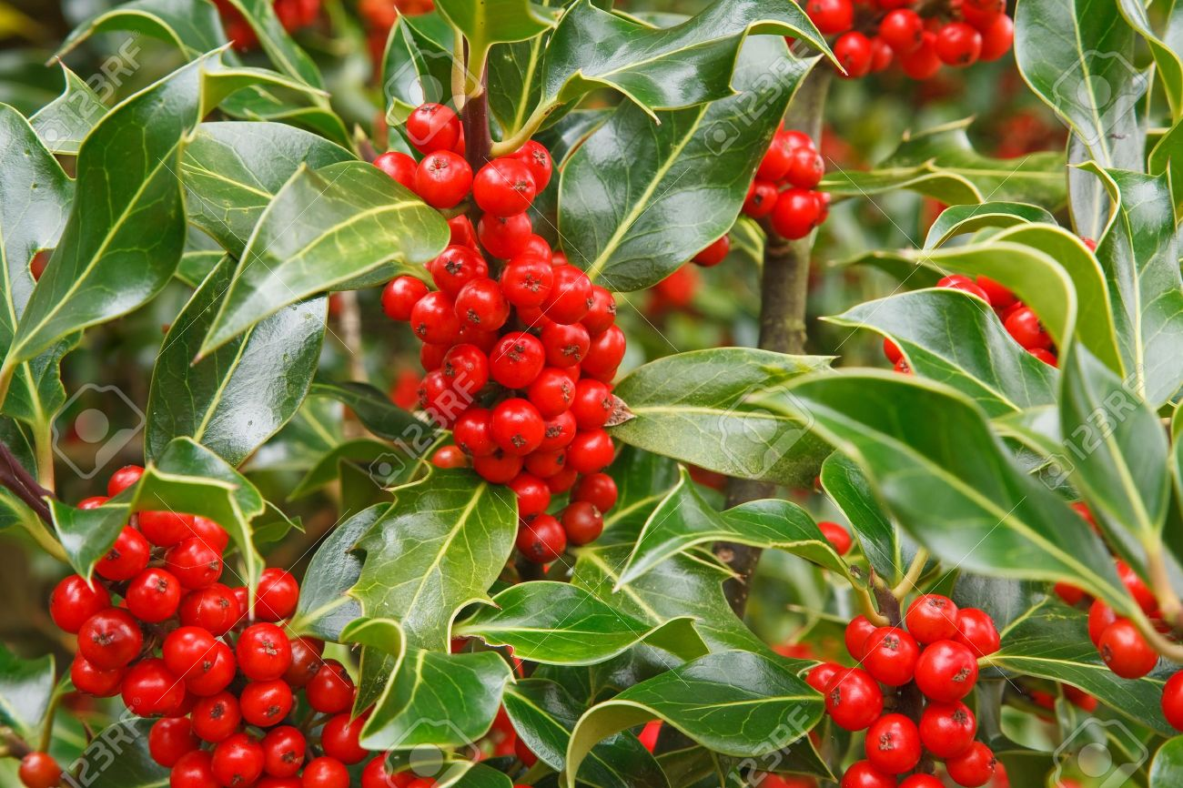 closeup of ripe red berries on a holly bush stock photo - Holly Plant