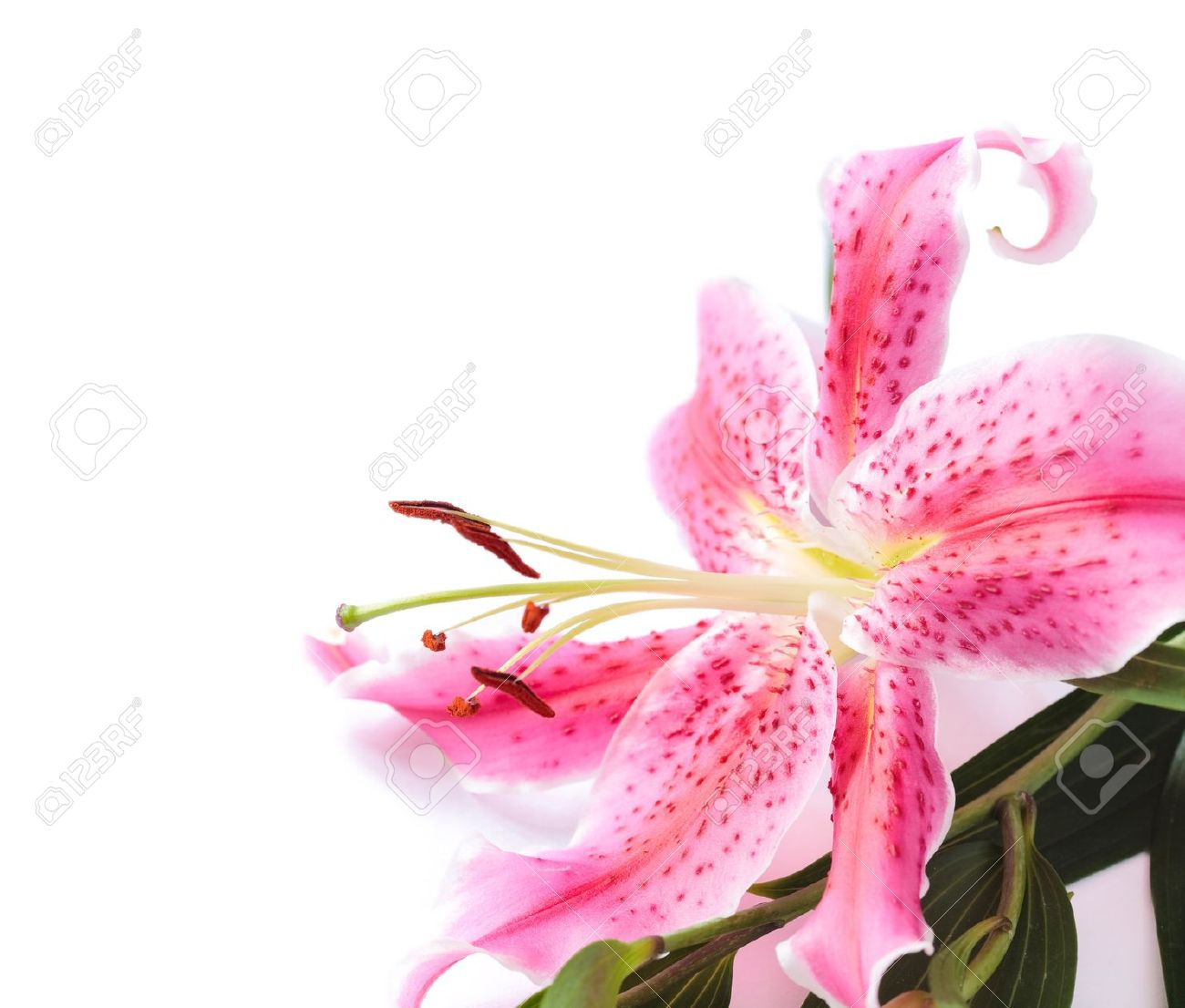 Pink stargazer lily flower in the corner of the frame against pink stargazer lily flower in the corner of the frame against a white background has a mightylinksfo