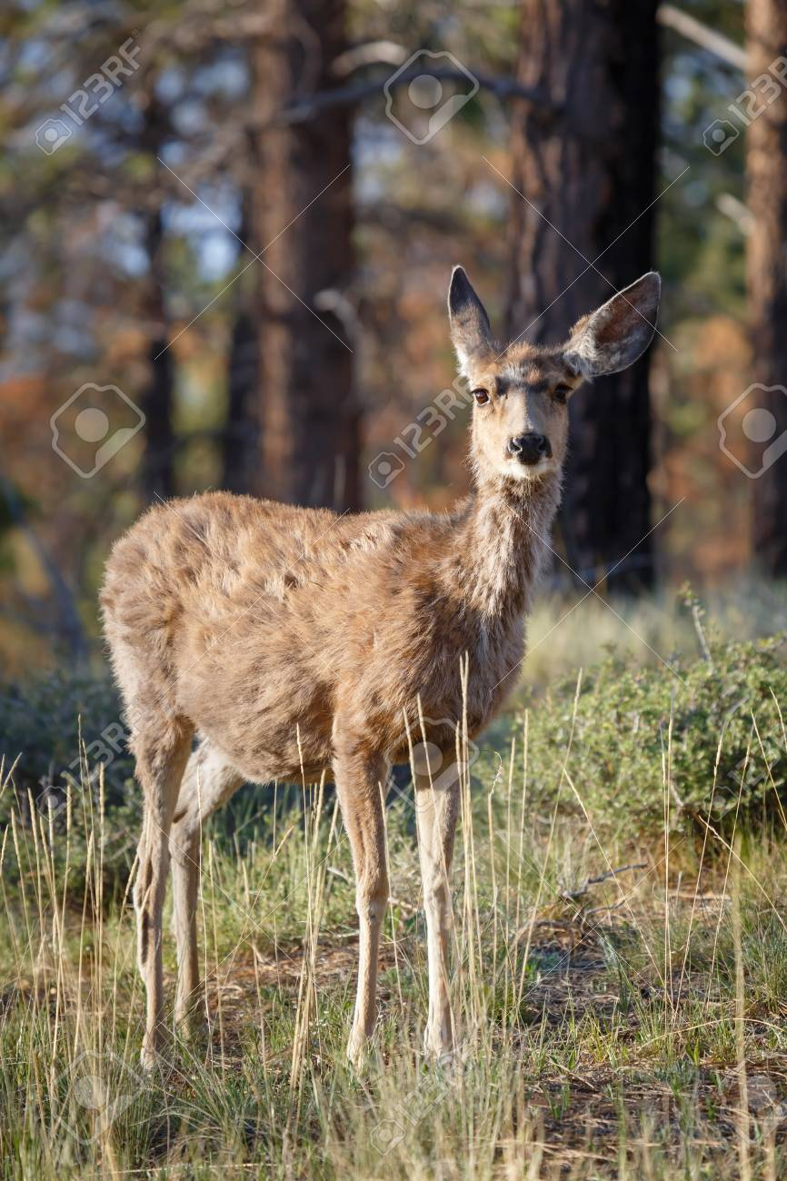 Female wild mule deer Odocoileus hemionus in a woodland setting, Bryce Canyon NP, Utah Stock Photo - 14809638