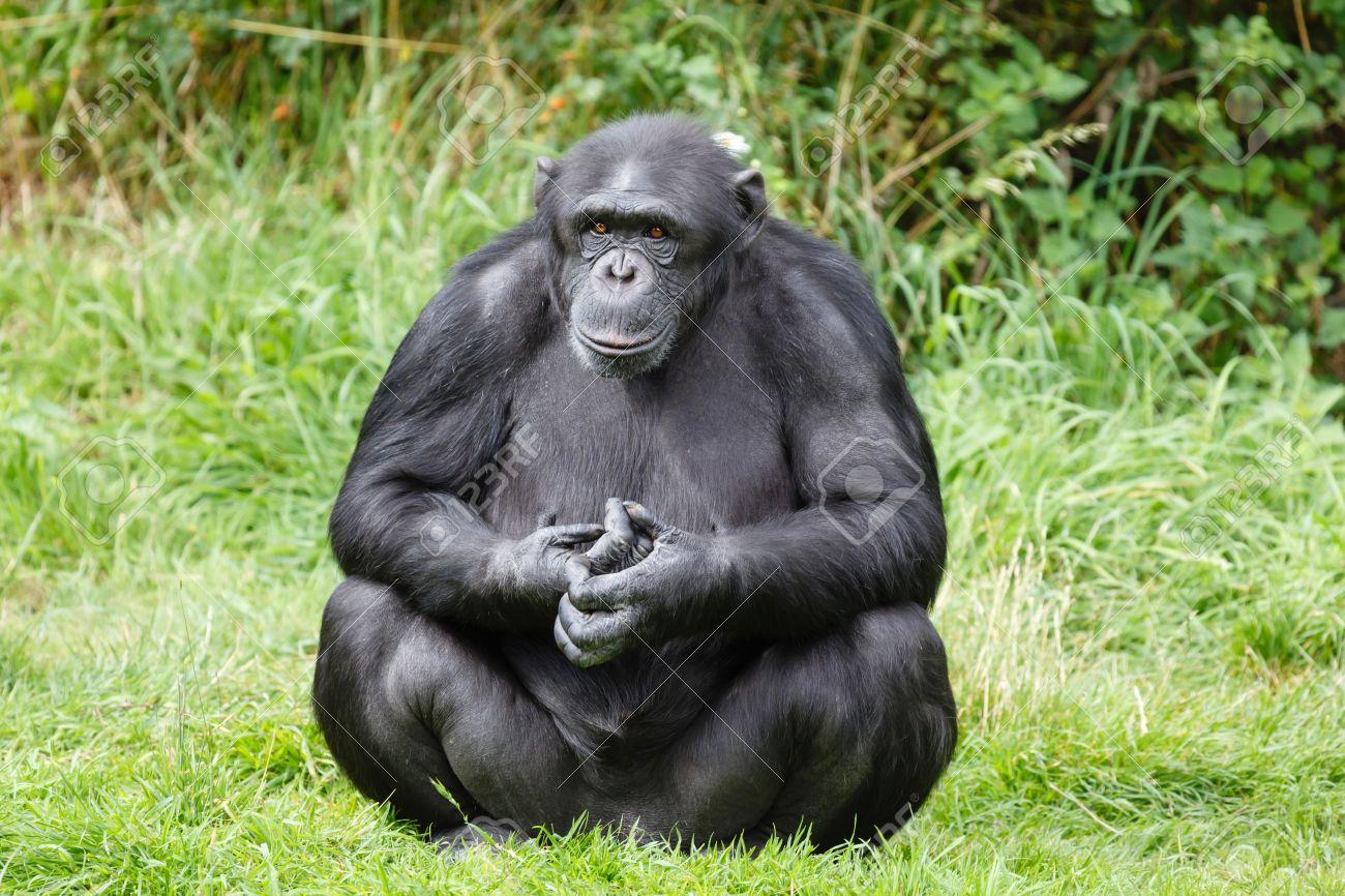 Portrait of a chimp or chimpanzee sitting Stock Photo - 18099148