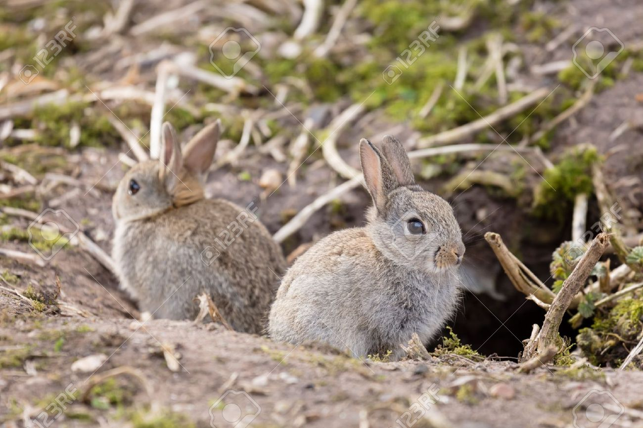 Two Baby Wild European Rabbits Sit Outside Their Burrow At A ...