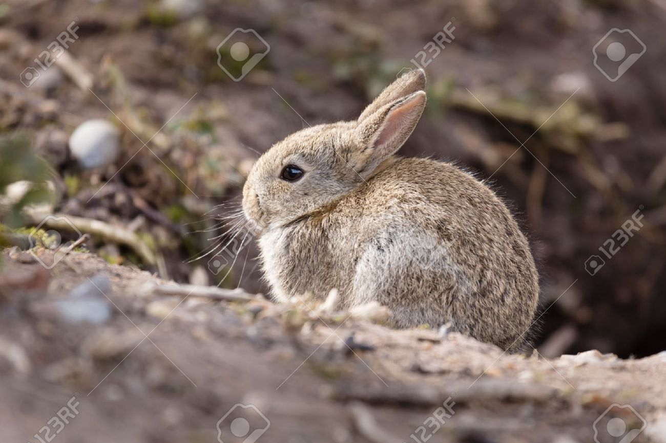 Wild baby european rabbit Oryctolagus cuniculus outside a burrow of a rabbit warren Stock Photo - 21494547