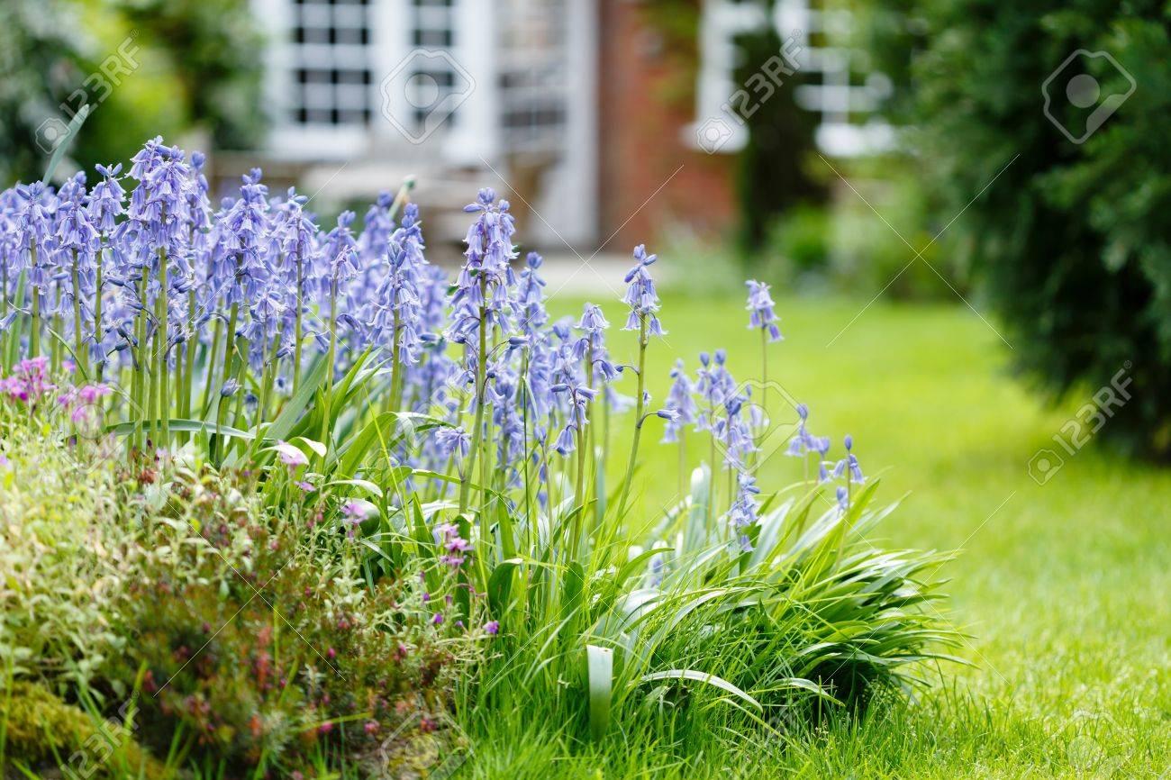 Jacinthes Dans Un Jardin Fleuri Avec Jardin Pelouse Et Maison En