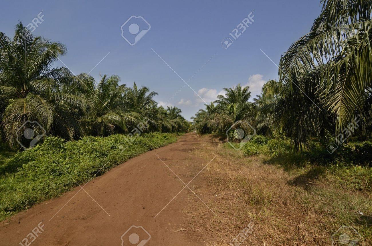 Palm Oil Plantation Cameroon, Buea,  December 2012, Outdoor Shot Stock Photo - 16853788