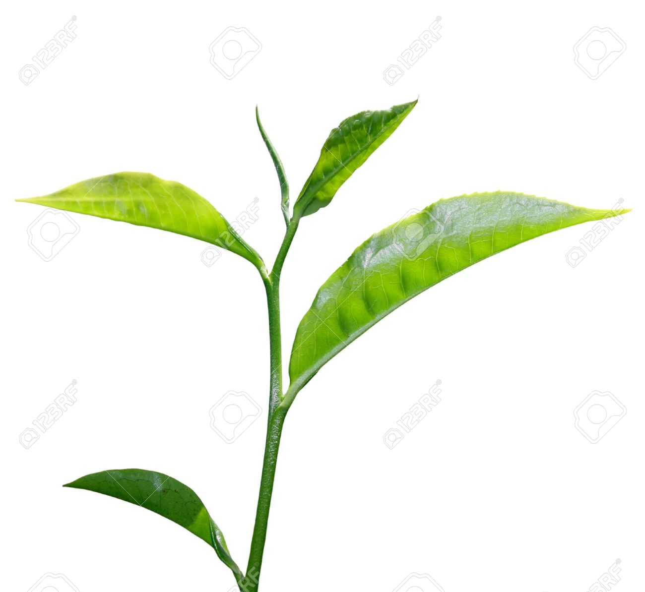 fresh green tea leaf isolated on white background Stock Photo - 4833402