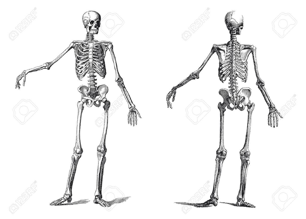 19 世紀の彫刻の人間の骨格のヴィンテージのイラスト ロイヤリティ