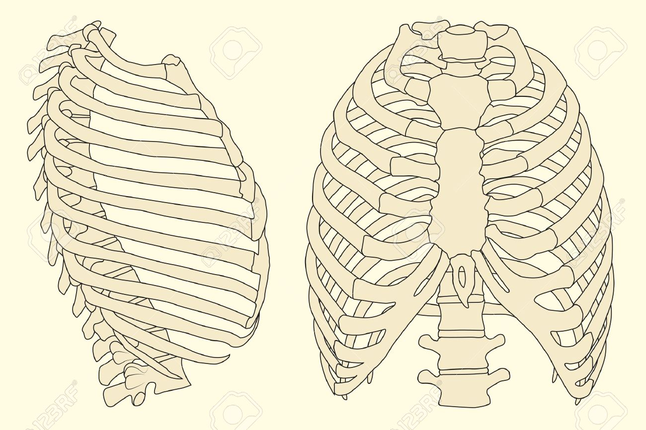 Human Rib Cage With Spine Royalty Free Cliparts, Vectors, And Stock ...