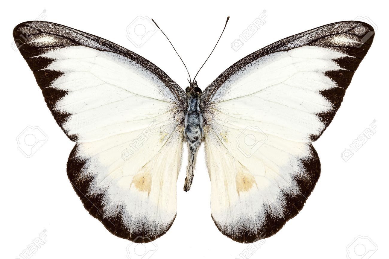 white butterfly species appias lyncida isolated on white background