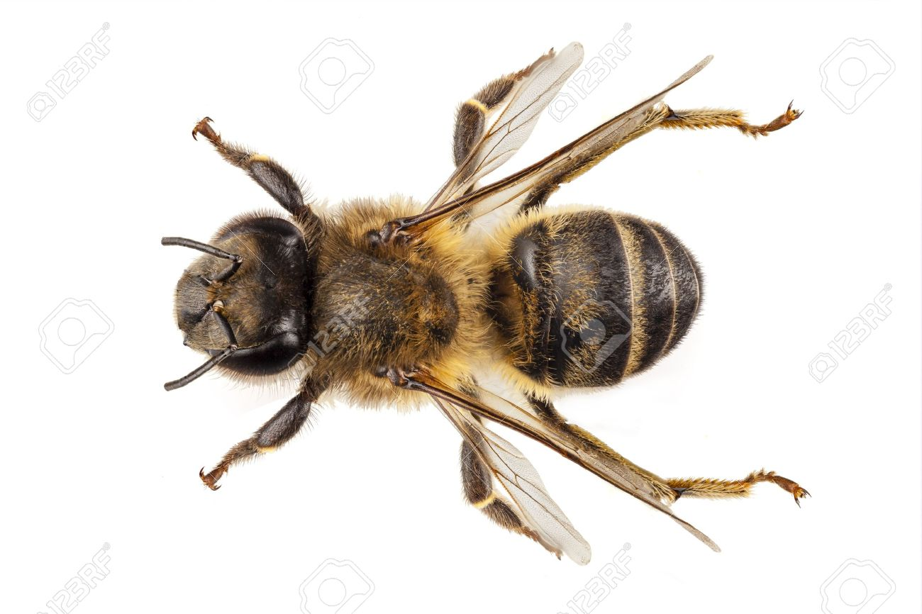 Bee species apis mellifera common name Western honey bee or European honey bee isolated on white background Stock Photo - 16458080