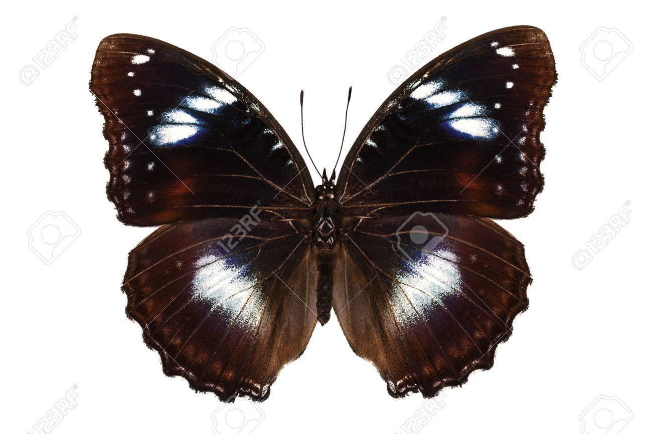 Butterfly species Hypolimnas bolina Stock Photo - 16511599