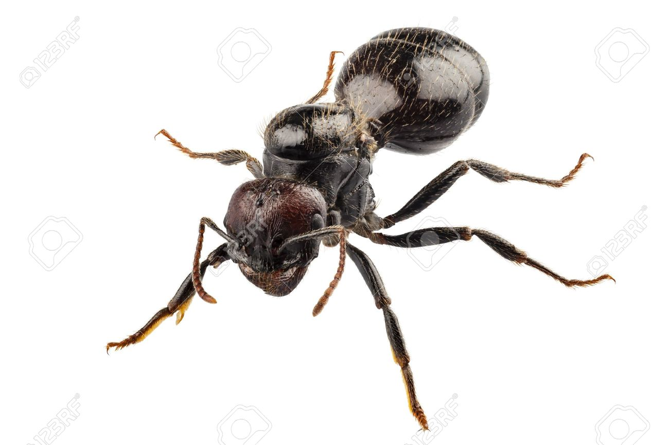 Black Garden Ant Species Lasius Niger In High Definition With Extreme Focus  And DOF (depth