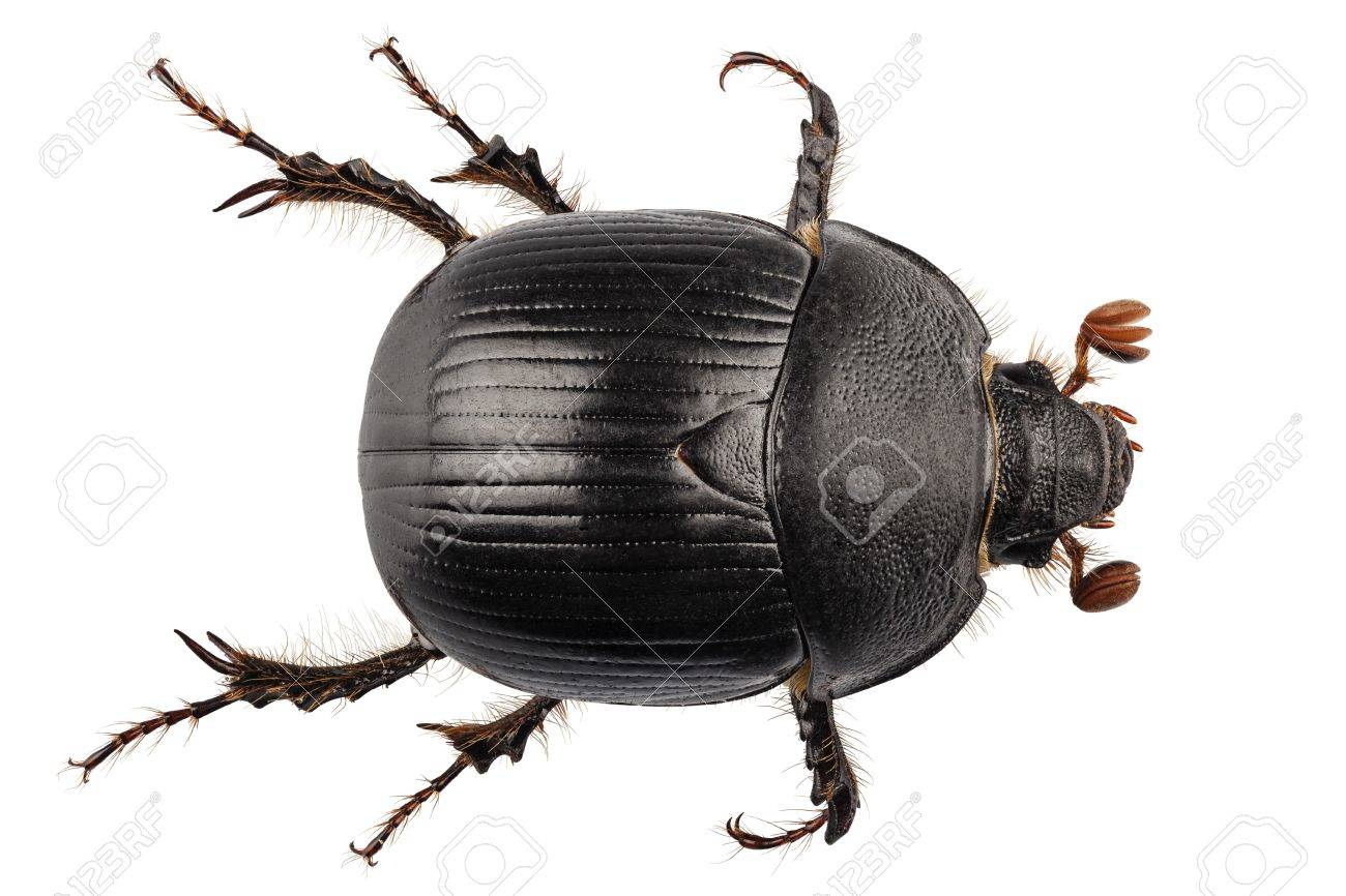 earth-boring dung beetle species Geotrupes stercorarius in high definition with extreme focus and DOF (depth of field) isolated on white background Stock Photo - 17750478
