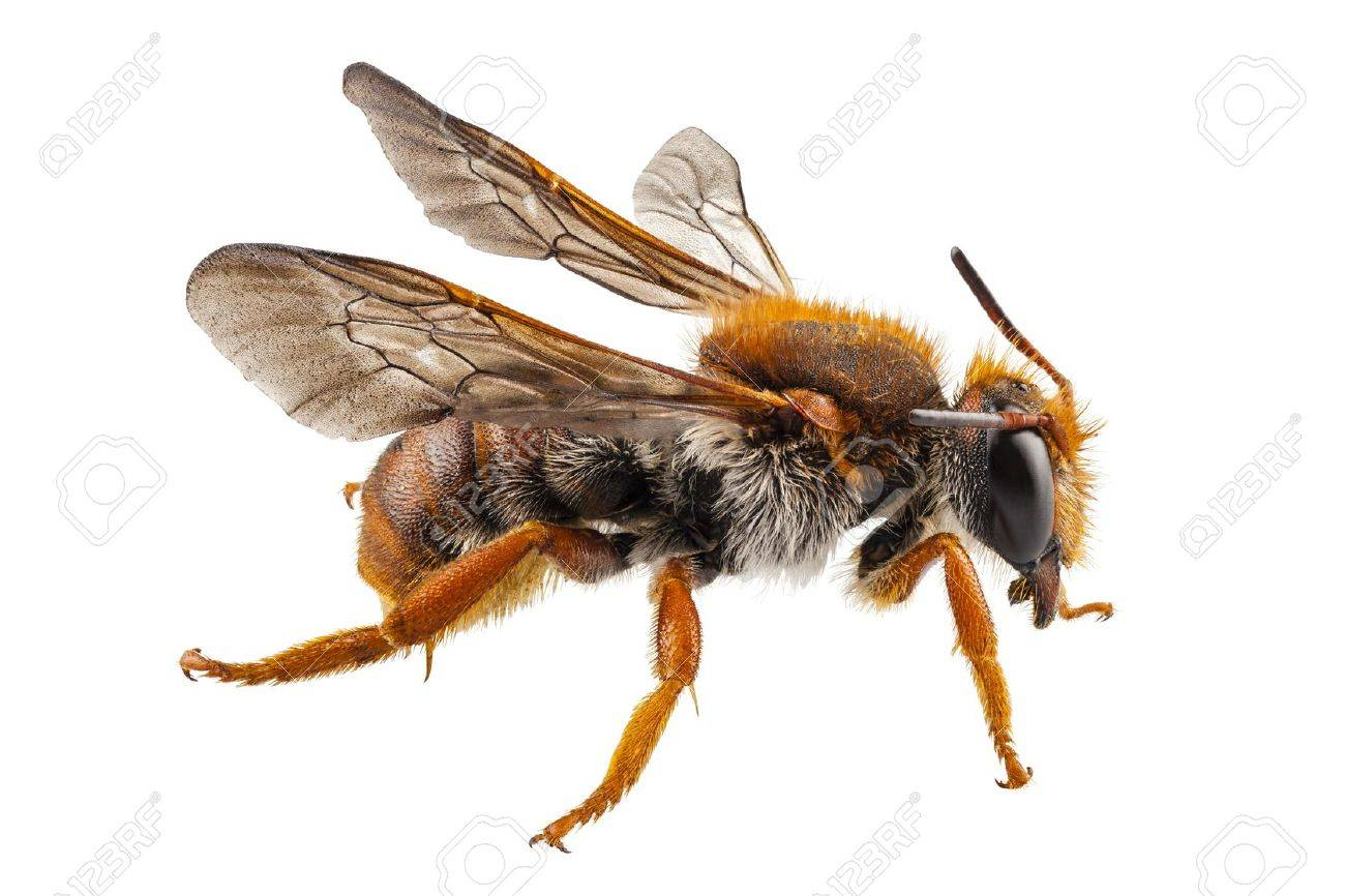 Bee Species Anthidium Sticticum Common Name Mason Or Potter In High Definition With Extreme Focus