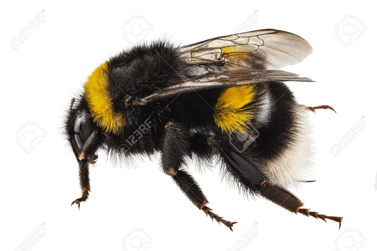 bumblebee species bombus terrestris common name buff tailed