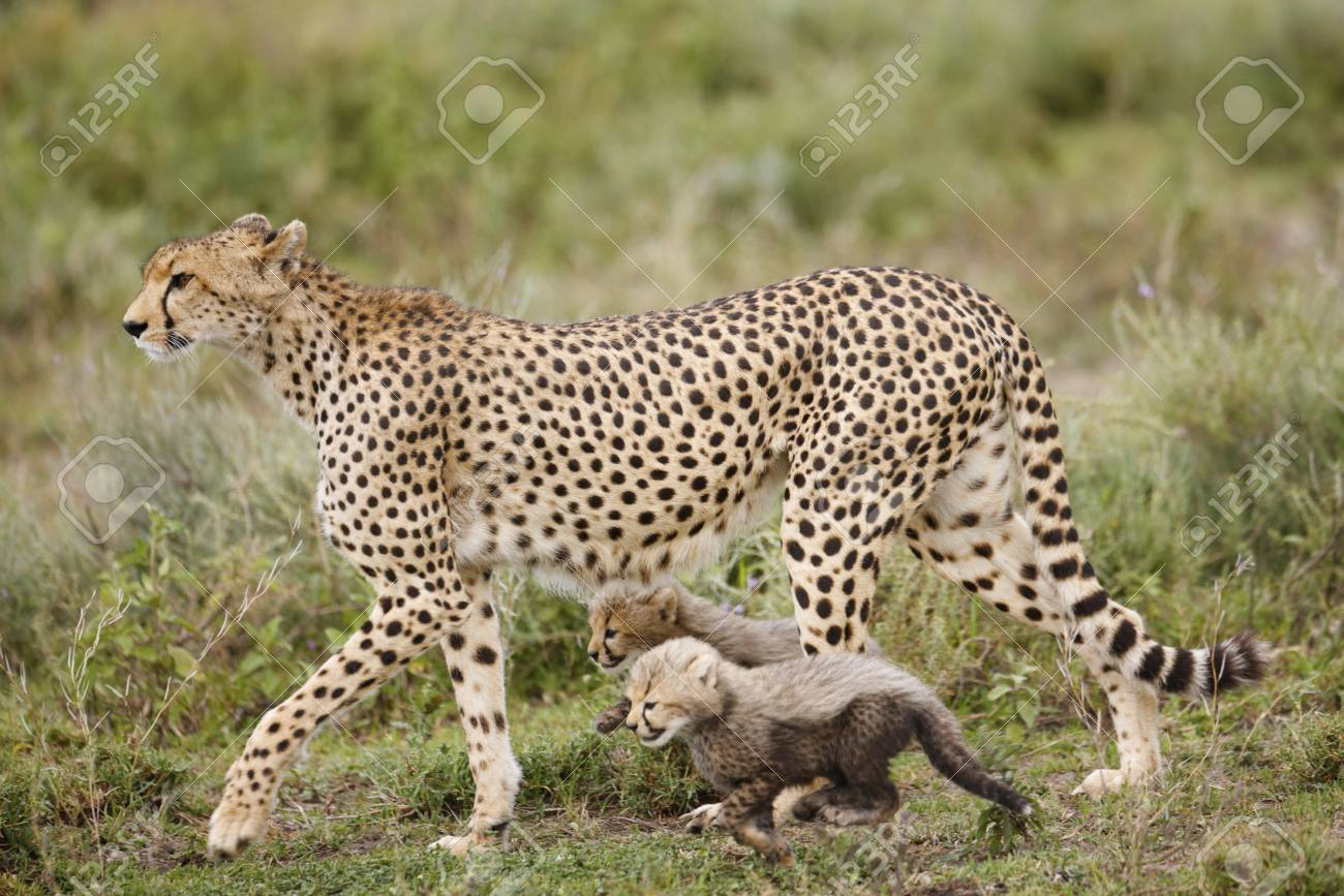 A cheetah with her cubs on the Serengeti Plains - 97916202