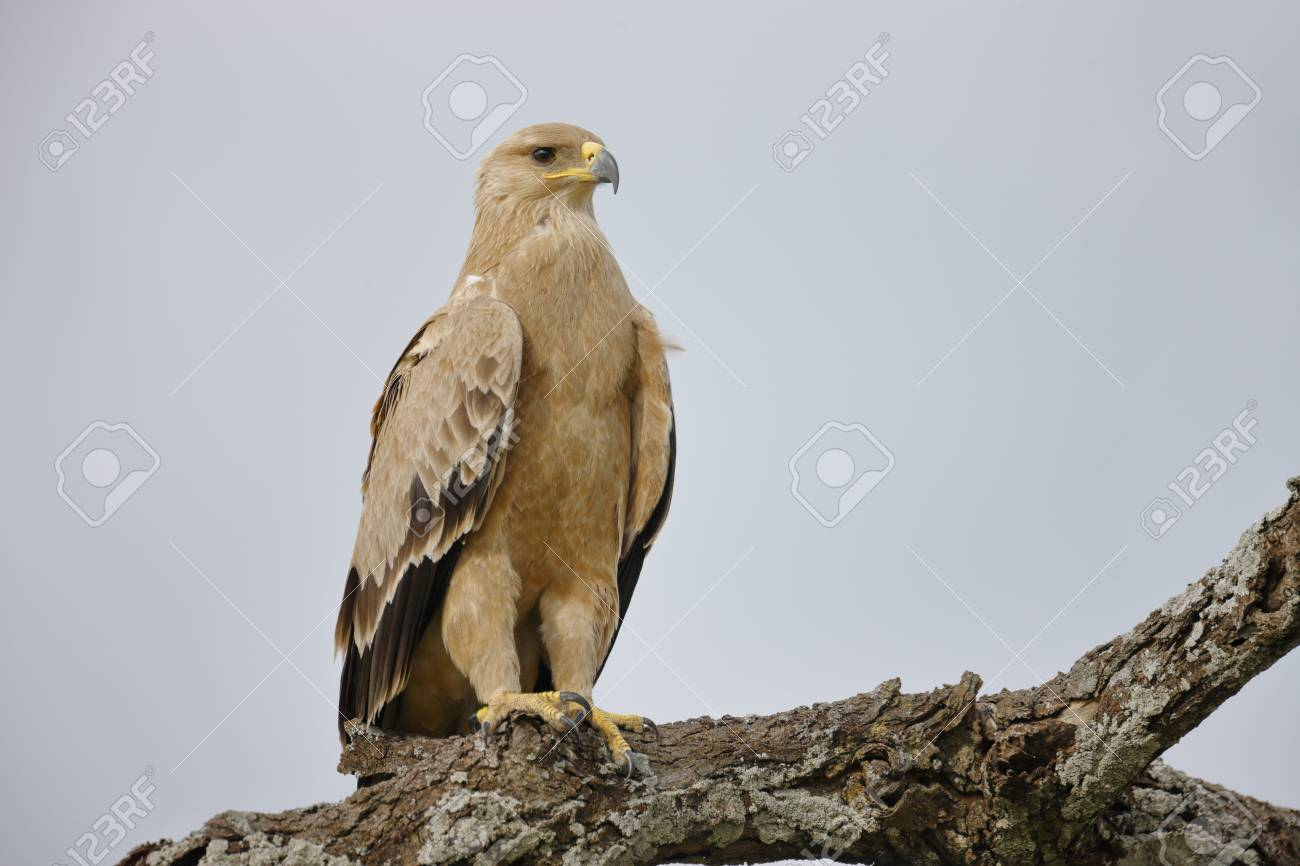 a tawny eagle perched in africa s serengeti national park stock