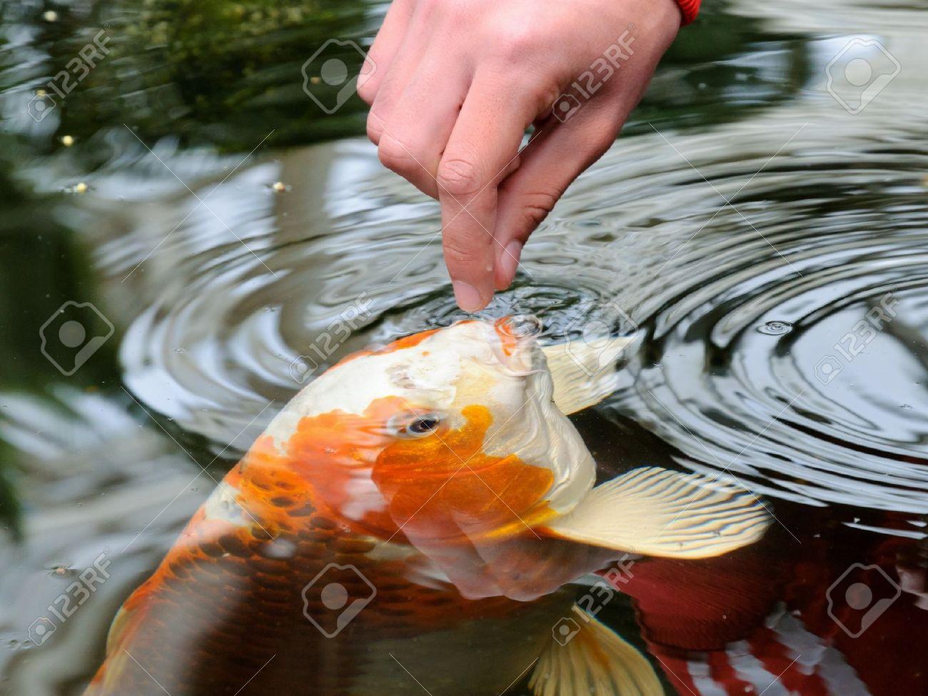 alimentar a la carpa koi con la mano cyprinus rubrofuscus foto de archivo