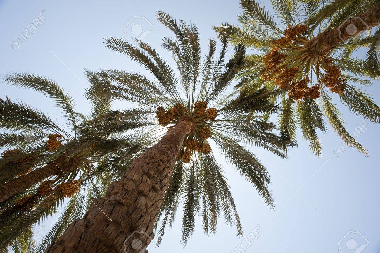 Canopy of date palm trees phoenix dactylifera with dates in the sun Stock Photo - 10827718 & Canopy Of Date Palm Trees Phoenix Dactylifera With Dates In The ...