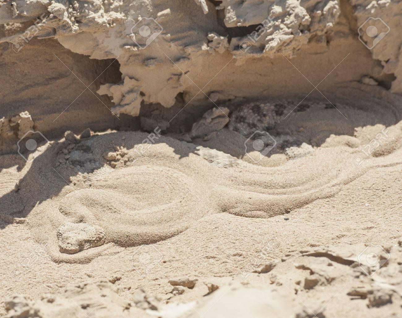 Egyptian Desert Viper Snake Cerastes Cerastes Buried In The Sand