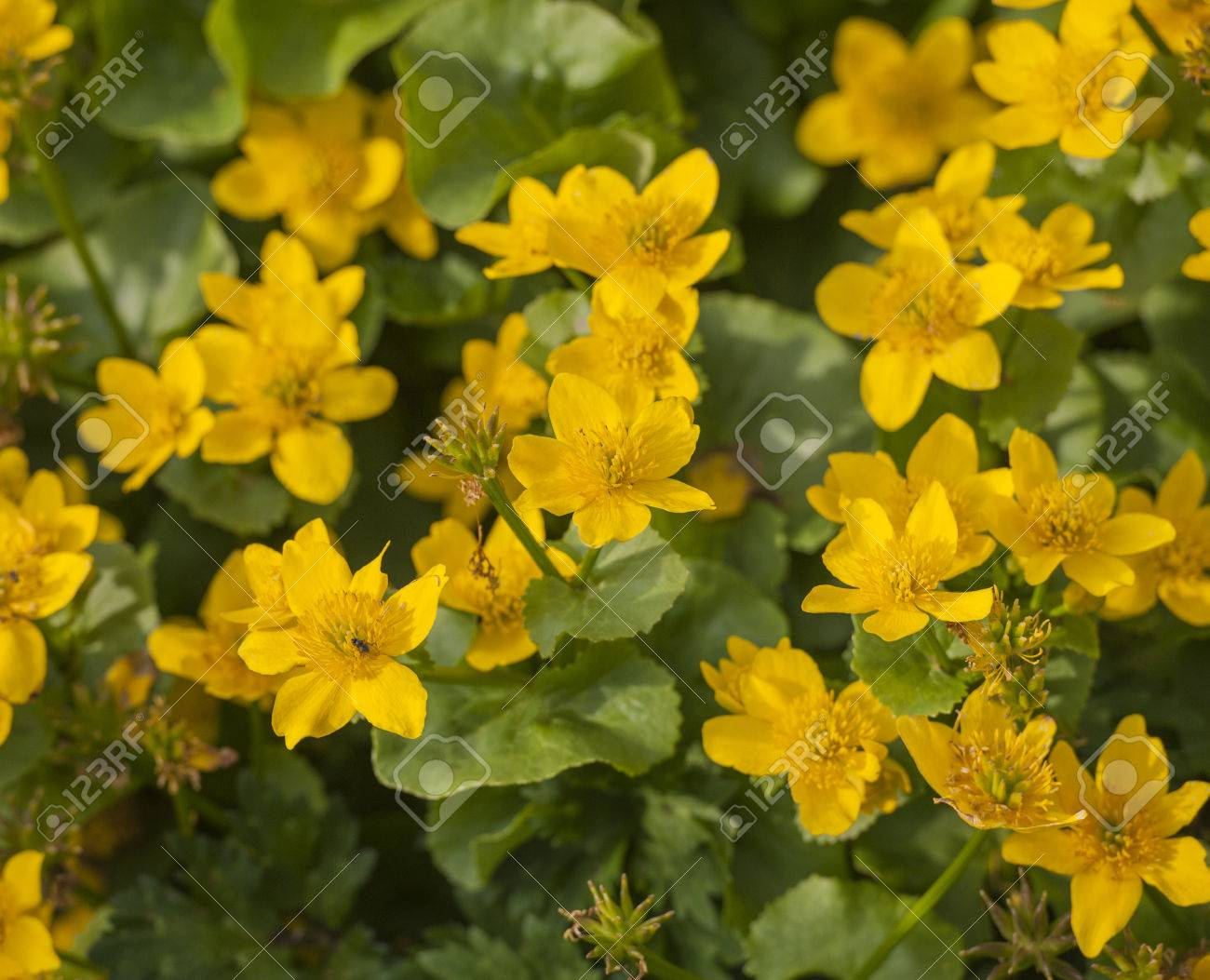 Closeup Detail Of Yellow Flowers On Marsh Marigold Kingcup Plant