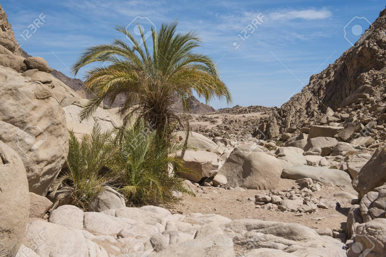 Date Palm Trees Growing In A Remote Isolated Small Oasis At Arid.. Stock  Photo, Picture And Royalty Free Image. Image 119119154.