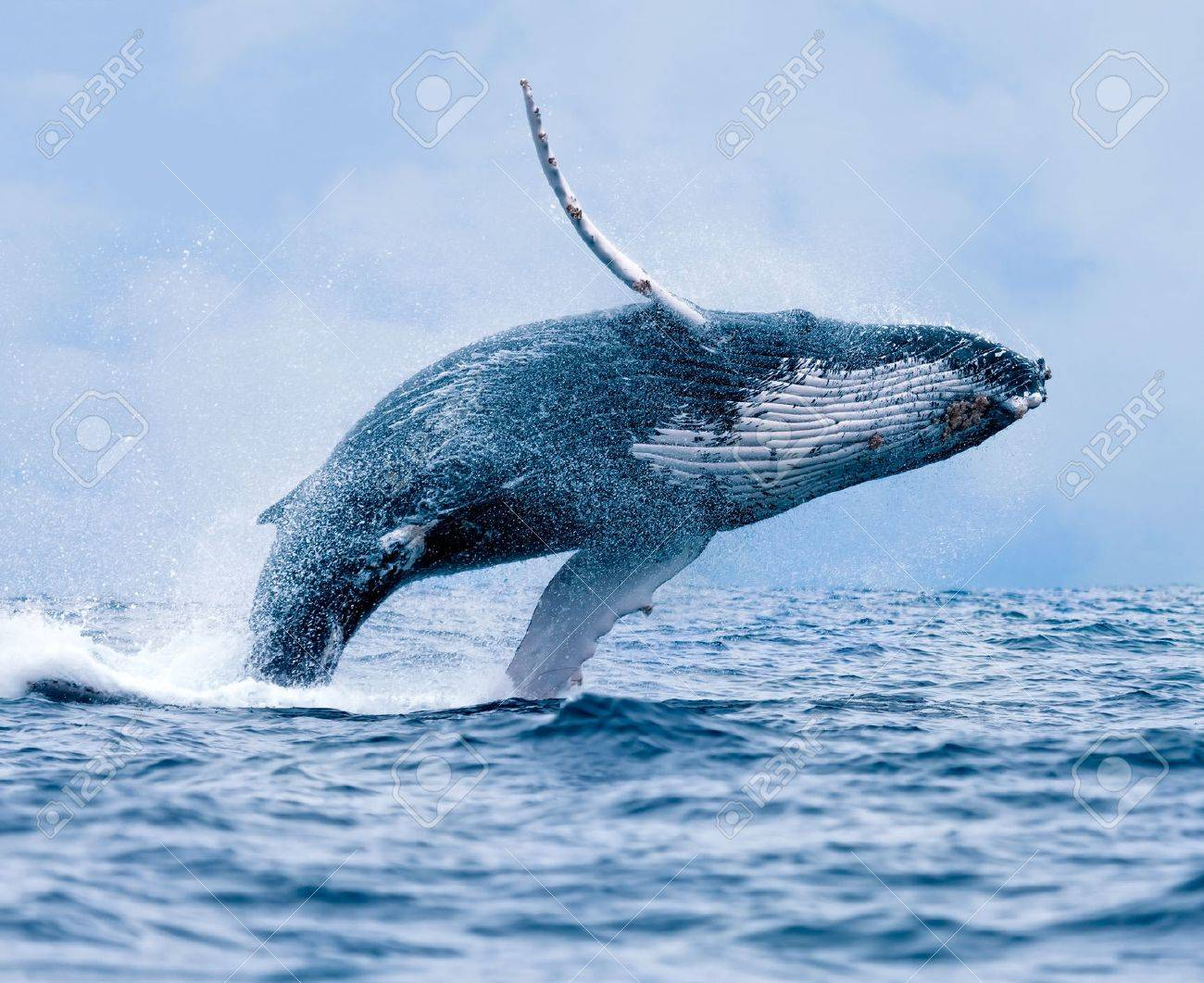 Whale stock photos royalty free whale images a breaching humpback whale stock photo voltagebd Gallery