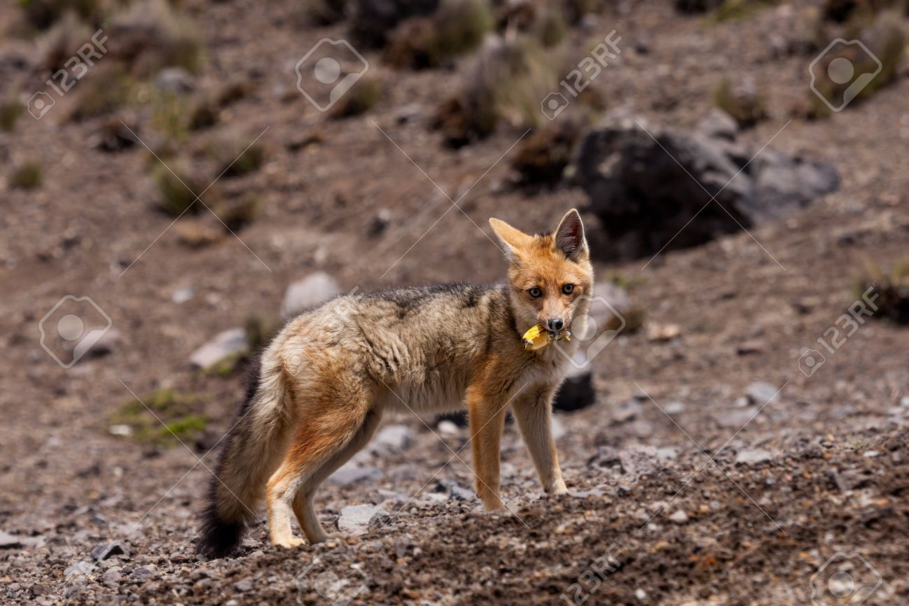 [Image: 40344213-the-andean-fox-lycalopex-culpae...oung-a.jpg]
