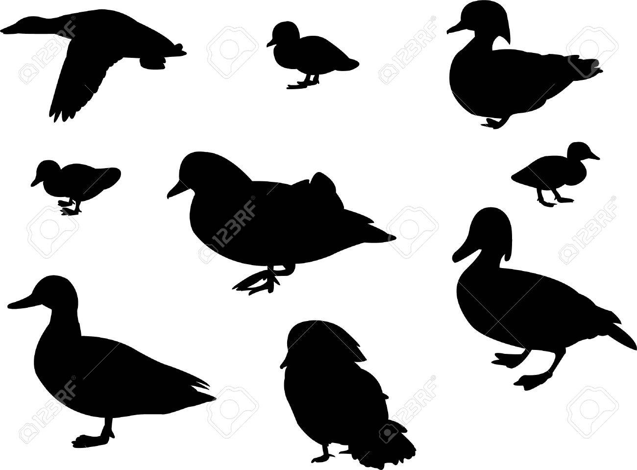 flock of ducks images u0026 stock pictures royalty free flock of