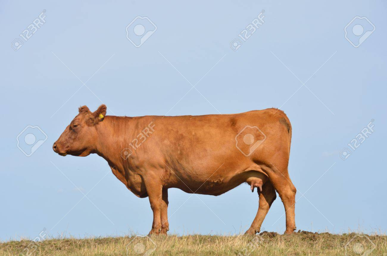 Brown cow Stock Photo - 14924950
