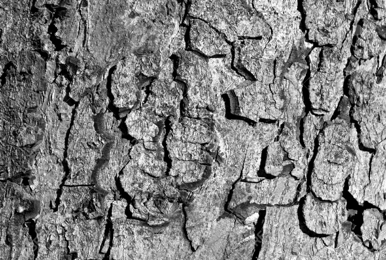 Black and white color tree bark texture abstract natural background and texture for design