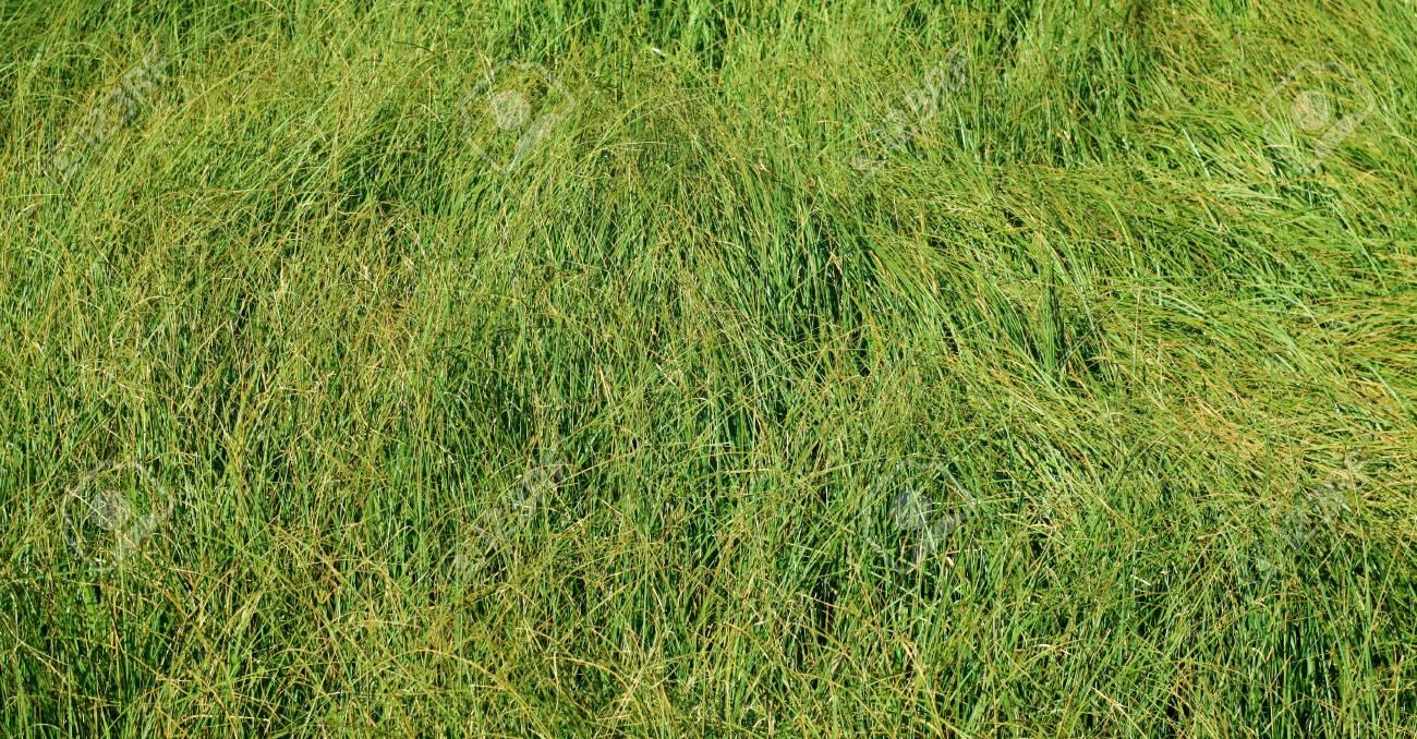 wild grass texture. Green Wild Grass Background. Abstractt Texture As Wallpaper. Stock Photo -  90272019