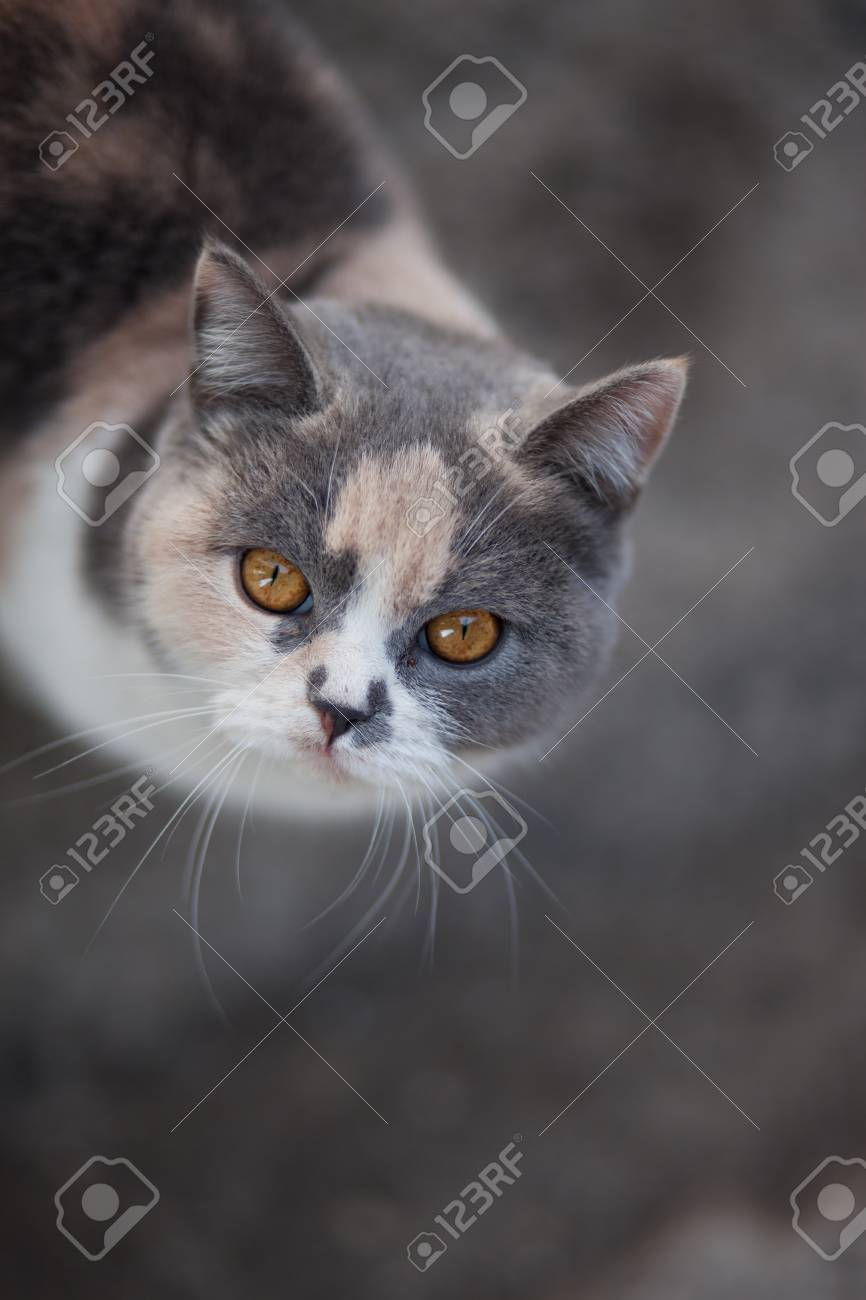 portrait of cute gray and white cat with big muzzle and short..