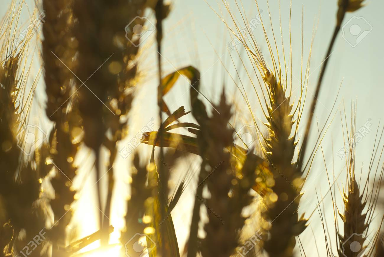 Wheat ears during sunset with shallow depth of field Stock Photo - 18059196