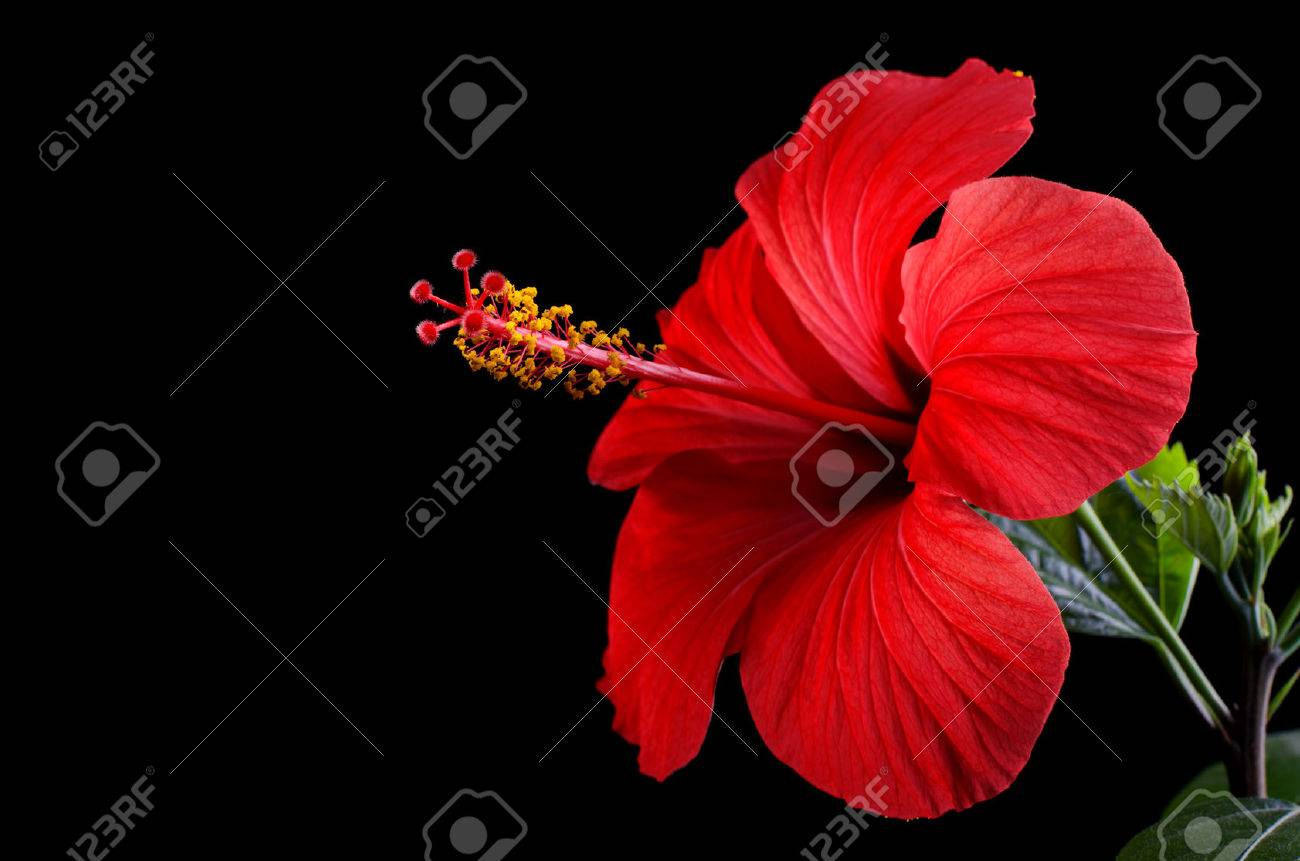 Hibiscus Flowers Stock Photos Royalty Free Hibiscus Flowers Images