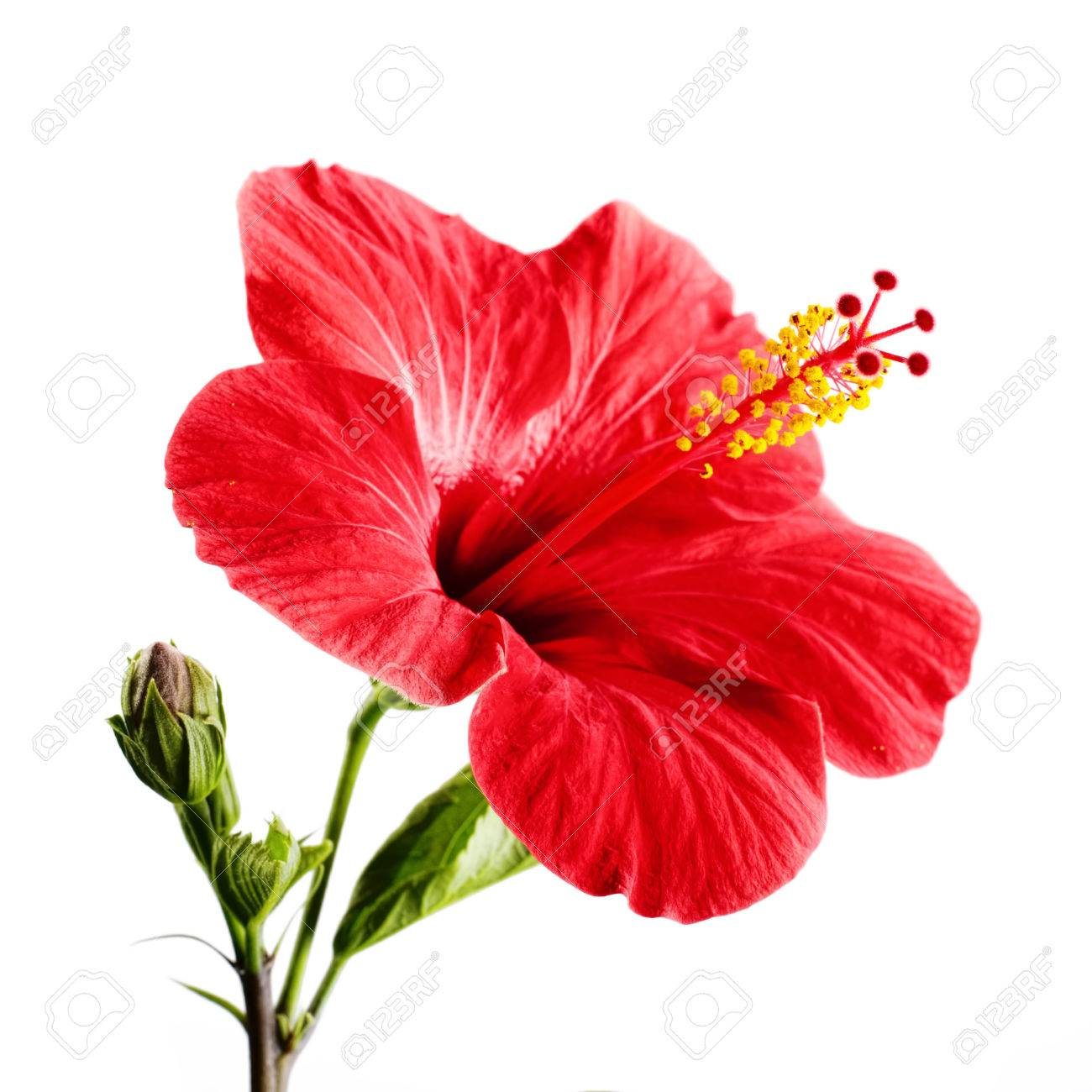 fbcc51fdad1d Hibiscus red flower on a white background isolated Stock Photo - 34450832