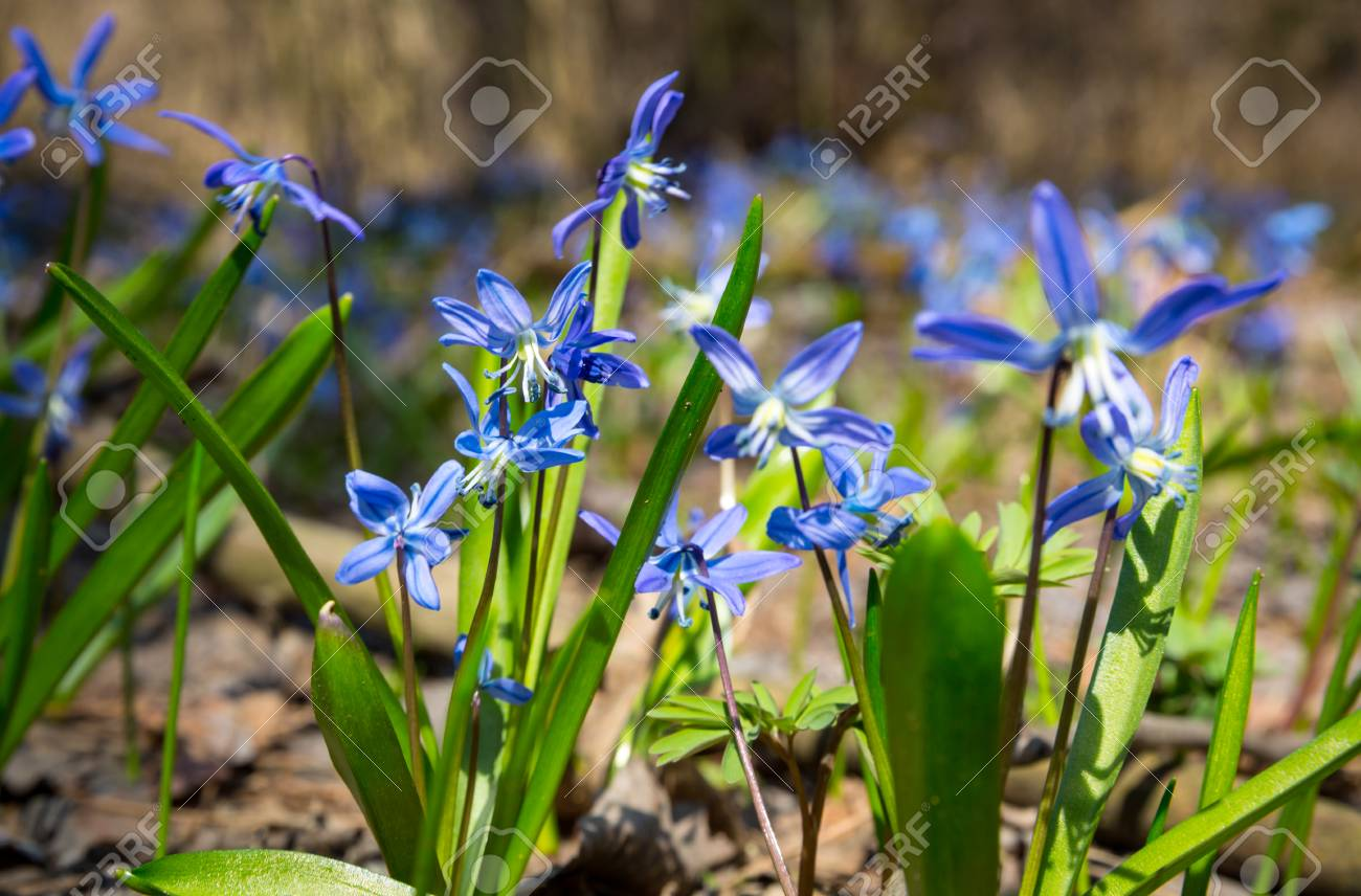 Scilla Bifolia Wild Spring Flowers Stock Photo Picture And Royalty
