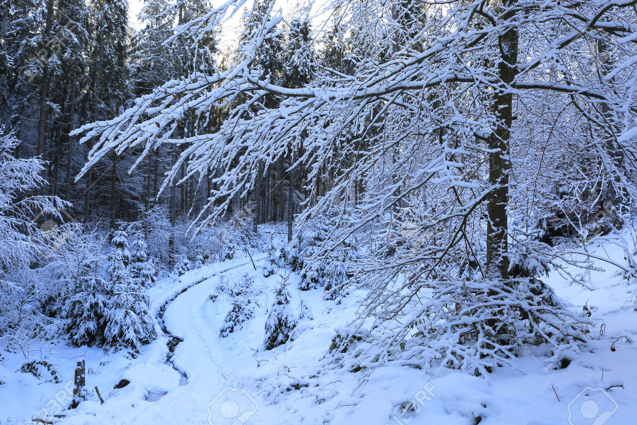 Snow covered tree in winter Carpathian forest, Ukraine - 165451640