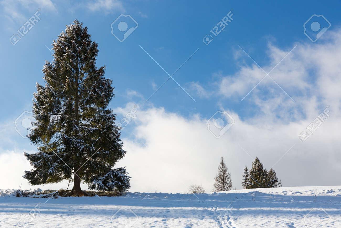 tall coniferous tree in a snowy meadow in the mountains. Carpathians in Ukraine - 165452035