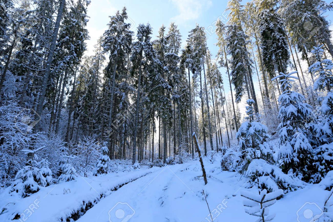 winter pine forest in Carpathian mountains in Ukraine - 165451046