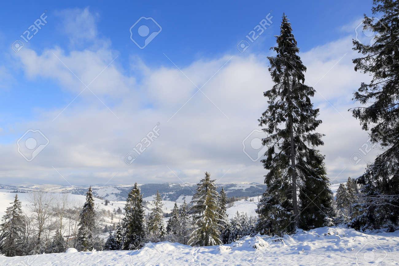 pine tree on winter meadow in Carpathians, Ukraine - 165451597