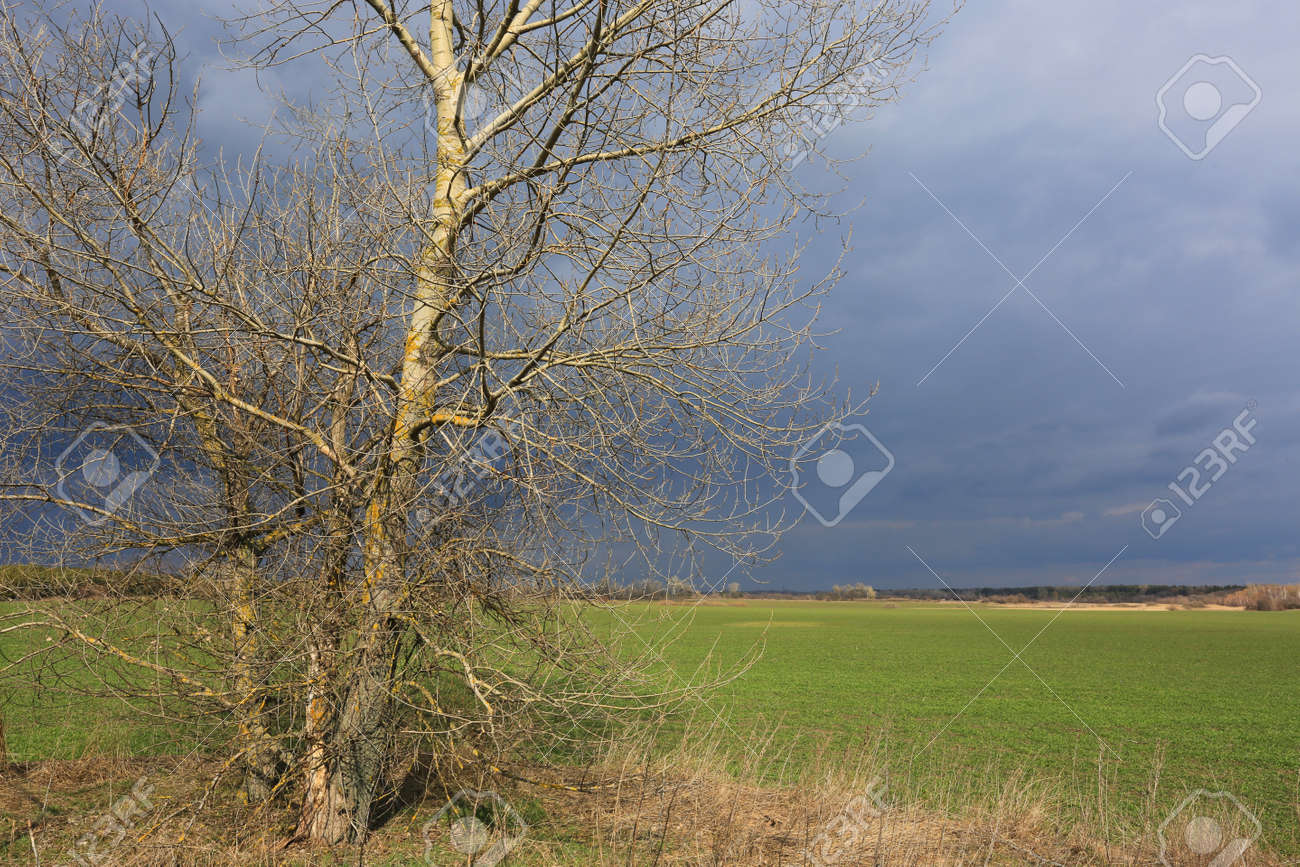 leafless tree on green meadow before thunderstorm in spring time - 167478826